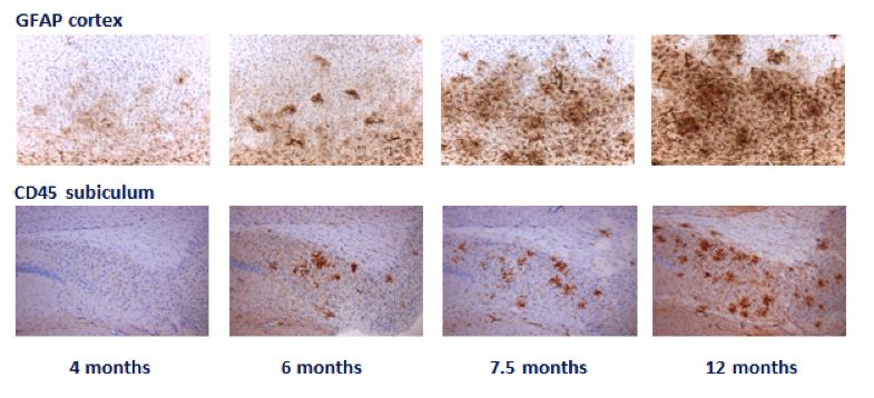 GFAP (astrogliosis) and CD45 reactivity